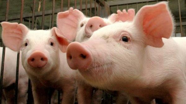 Adapi proíbe entrada de suínos no Piauí após foco de doença no Ceará