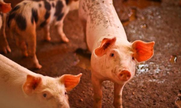 Ministério da Agricultura confirma foco de peste suína no Piauí